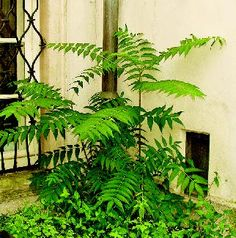 Pajasmin (Ailanthus altissima) tree of heaven, ailanthus, - invasive species in Croatia (impressive groweth - no commercial use - detrimental for neighbouring plants)