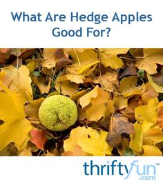 This is a guide about what hedge apples are good for. The hedge apple or Osage orange is said to have beneficial uses.