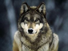 Wolf: Noble and wild. Wolf can teach you to watch silently, be loyal to family, or to protect yourself. Wolf is often shy, but knows how to defend the pack and young. Wolf Love, Beautiful Creatures, Animals Beautiful, Cute Animals, Wild Animals, Animals Dog, Origin Of Dogs, Tier Wolf, Saarloos