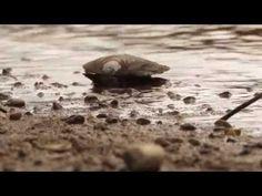 Impactul negativ asupra scoicii mici de râu (Unio crassus) - YouTube Youtube, Youtubers, Youtube Movies
