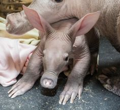 A female Aardvark born at the Detroit Zoo on February 11 weighed less than four…