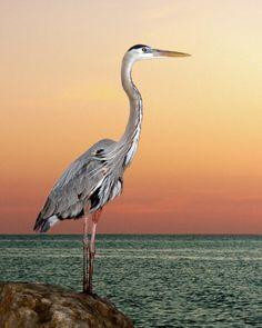 Great blue heron in seaside sunset. Credit Melinda Moore #photography