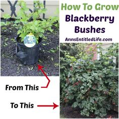 How To Grow Blackberry Bushes; here are my tips on growing blackberry bushes based on my experience with blackberry bush plants http://www.annsentitledlife.com/produce/how-to-grow-blackberry-bushes/