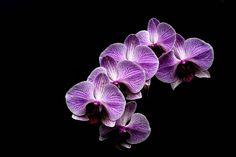 Orchideu na fotografii máme už skoro 4 roky, stará sa sama o seba a vždy nás prekvapí svojou úrodou kvetov :-)