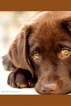 Dog Breeds Little .Dog Breeds Little Labrador Retriever Chocolate, Retriever Puppy, Golden Retriever, Super Cute Puppies, Cute Dogs, Animals Beautiful, Cute Animals, Dog Breeds Little, Best Dog Toys