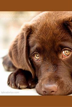 Dog Breeds Little .Dog Breeds Little Labrador Retriever Chocolate, Retriever Puppy, Golden Retriever, Labrador Retrievers, Lab Puppies, Cute Puppies, Cute Dogs, Animals Beautiful, Cute Animals