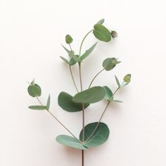 my first try at growing - silver dollar eucalyptus