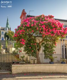 Friday, April 20th. Just a perfect day! Love this Rhododendron in Victoria Road, St Peter Port. #LocateGuernsey #GreatThings  Link to the whole collection of 'Georgie's Guernsey':-http://chrisgeorge.dphoto.com/#/album/4daaes  Picture Ref: 20_04_18 — in Guernsey.