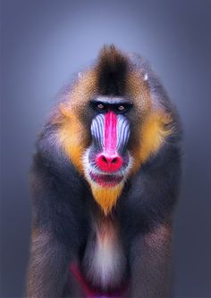 Portrait of a dominant male Mandrill. Mandrills have the most colorful face of the primate world. They also have very prominent canine teeth and a menacing gaze. Male mandrills are the heaviest monkey Primates, Mammals, Beautiful Creatures, Animals Beautiful, Smithsonian Photo Contest, Animals And Pets, Cute Animals, Baboon, Chimpanzee