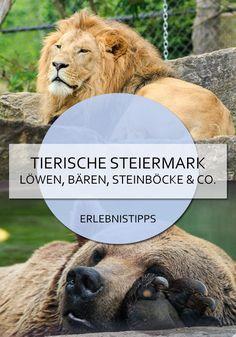 Tierparks, Ausflugsziele und Aktivitäten mit Tieren: in der Steiermark geht es tierisch rund! #steiermark #österreich #ausflugsziel #ausflugstipps #reisetipps #tiere #zoo #alpakas Lion, Adventure, Bergen, Tricks, Animals, Alpacas, Travel Report, Road Trip Destinations, Tours
