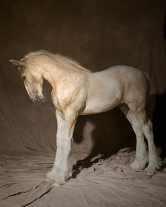 Our Stallions: Tintagel Andalusian Horses: Gunther - Drum Horse
