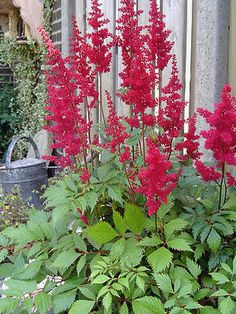 backyard designs – Gardening Ideas, Tips & Techniques Red Flowers, Clematis Vine, Shade Plants, Trees To Plant, Prairie Garden, Perennials, Plants, Outdoor Plants, Astilbe