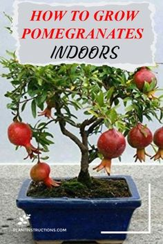 to Grow Pomegranates Indoors Did you know you can actually grown your very own pomegranate tree INDOORS Learn how! via plantinstructioDid you know you can actually grown your very own pomegranate tree INDOORS Learn how! via plantinstructio Growing Fruit Trees, Growing Tree, Growing Plants, Growing Vegetables, Gardening Vegetables, Dwarf Fruit Trees, Fresh Vegetables, Home Vegetable Garden, Fruit Garden