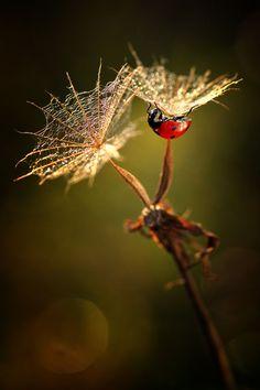 Ladybug on spent flowers.