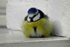 ZEIST – Dit weekend is de Nationale Tuinvogeltelling. Op zaterdag 27 en zondag 28 januari kan iedereen weer meedoen met het tellen van tuinvogels. Tel ook mee! Het is leuk en makkelijk. Tuinvogeltelling Hoe werkt het? Iedereen kan meedoen in 3 gemakkelijke stappen: • Tel op zaterdag 27 of zondag