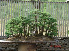 A Forest Shorn Willowbog Bonsai