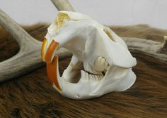 Beaver Skull, Taxidermy, Bones, Vulture Culture, Oddities, Curiosities, Cabin Decor, Rustic Decor, Wicca, Pagan, Animal Skull, Skeleton by SagebrushandBeyond on Etsy