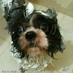 シャワーしたPepper #shower #shihtzu #dog #philippines #フィリピン #犬 #シーズー