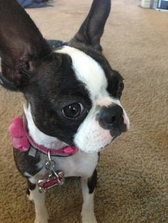 Our Boston Terrier Fiona. <3