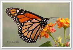 Monarch Butterfly; Danaus plexippus