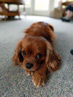 Wyatt my Cavalier King Charles Spaniel. Such a beautiful breed! http://ift.tt/2emC59n