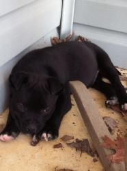 Blackie is an #adoptable Pit Bull Terrier Dog in #Matthews, #NCarolina. Blackie and his siblings were born under an old shed and lived outside for the first six weeks of their lives. Their mother disappeared at...