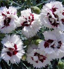 Plant and grow your own stunning Cut Flowers from Suttons. They look great in your garden and decorate your home. Sutton Seeds, Pink Perfume, Hollyhock, Grow Your Own, Showgirls, Cut Flowers, Simply Beautiful, Perennials, Poppies