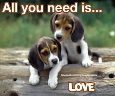 All you need is beagle love
