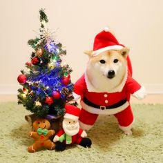 ふわもこ的 クリスマスイヴ2017 | 柴犬だいふくオフィシャルブログ「読む だいふく ちゃんねる」Powered by Ameba