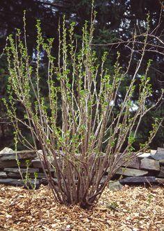 Пришла пора весенних работ в саду, ягоднике, на огороде. Сегодня поговорим о чёрной смородине. Нужно сказать, что весенняя обработка ягодников более важная, чем осенняя.