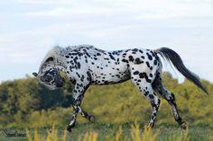 #horses  Appaloosa