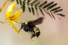 flying bumblebee images | Displaying 17> Images For - Bumble Bee Flying...