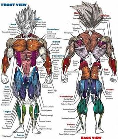 Great visual detail of muscle grouping anatomy