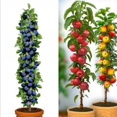 Columnar Fruit Trees: Ideal for growing in tubs on patios or balconies - Modern Grow Home, Decorating With Pictures, Edible Plants, Fruit Trees, Wood Design, Landscape Design, Balcony, Beautiful Pictures, Container
