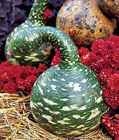 Gourd, Speckled Swan.Extravagantly lovely swan-necked ornamental gourd.