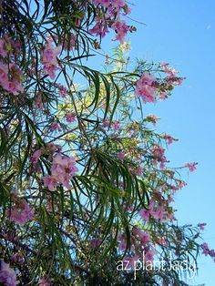 Desert Willow-Great drought tolerant tree for our area. Blooms all summer and re-seeds