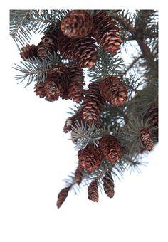 female spruce (mary jo hoffman)