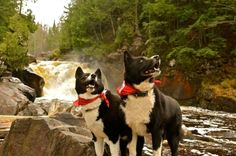 Karelian Bear Dogs, Kesa and Sydan in the beautiful Sturgeon River Wilderness area at the Sturgeon River Falls in the U. Bear Dogs, Dogs And Puppies, Norwegian Elkhound, Adorable Dogs, Hunting Dogs, Dogs Of The World, Akita, Animals For Kids, Mans Best Friend