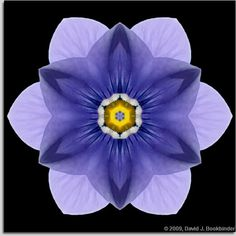 ~ BLUE PANSY I ~ David J. Bookbinder ~