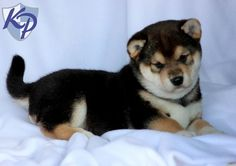 Louie – Shiba Inu Puppies for Sale in PA | Keystone Puppies