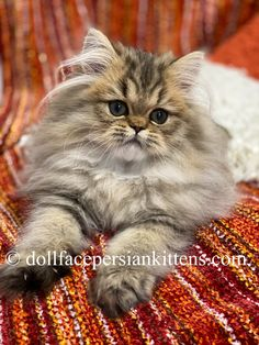 Caring for Cats – The Easy Way Teacup Persian Kittens, Teacup Kitten, Persian Kittens For Sale, Kitten For Sale, Kittens Cutest, Cats And Kittens, Himalayan Kittens For Sale, Exotic Shorthair, Cute Hedgehog