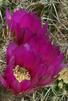 This beautiful Engelmann's Hedgehog [Echinocereus engelmannii] is blooming along the main drive of the Garden's east parking lot.   Over the next week or so, the new landscaping of the east parking lot will be a blast of shocking pink color.