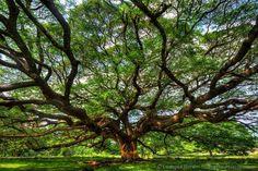 Big tree Monkey Puzzle Kanchanaburi