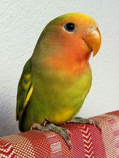 Peach faced lovebird cutie (: