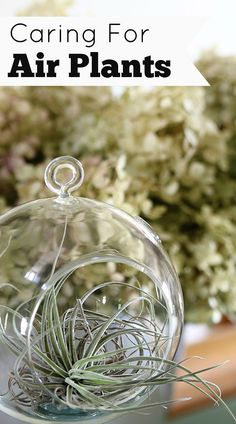 Air plants are an easy houseplant to grow! With just a few simple tips for…