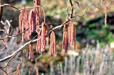 Image result for sun bronzed catkins Pinterest