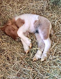 Tiny foal curled up to nap in the straw. Either Shetland pony or miniature horse—either way, adorable. Tiny foal curled up to nap in the straw. Either Shetland pony or miniature horse—either way, adorable. Cute Horses, Pretty Horses, Horse Love, Beautiful Horses, Animals Beautiful, Mini Horses, Cute Baby Animals, Animals And Pets, Funny Animals