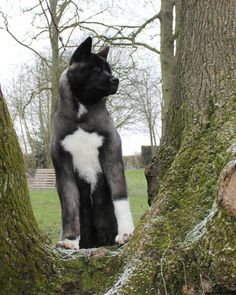 Akita in the tree . Akita in the tree . Akita Puppies, Akita Dog, Dogs And Puppies, Dalmatian Puppies, Doggies, Japanese Akita, Japanese Dogs, Beautiful Dogs, Animals Beautiful