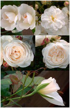 Austin-Roses
