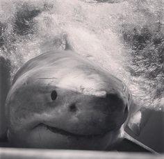 White shark - requinblanc - Ocean - cagediving